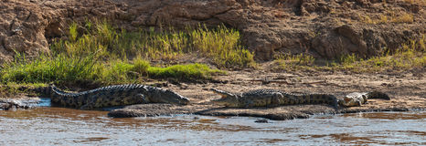 Three crocodiles are on the river bank. Panorama from 3 frames, Masai Mara Game Reserve, Kenya Royalty Free Stock Photo