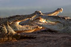 Three crocs sunning. Three nile Crocodiles lying in the sun with mouths open Royalty Free Stock Image