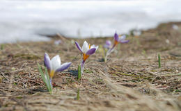 Three crocus. Three spring crocus on thawed patch stock images