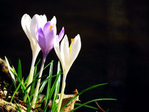 Three crocus vernus flower by water with dark background Stock Image