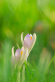 Three crocuses in the meadow Stock Image