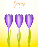 Three Crocuses Royalty Free Stock Photography