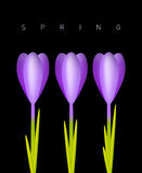 Three Crocuses Royalty Free Stock Photos