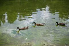 Three crooks of the duck swim in the pond in a row. Three brown crooks of the duck swim in a dirty, green pond, lake, river in a row, one after another royalty free stock photo
