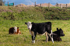 Three crossbreed calves in paddock Royalty Free Stock Image