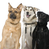 Three Crossbreed dogs. In front of a white background royalty free stock photography