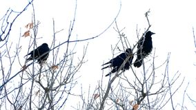 Three crows sit on the dry branches of a tree stock footage