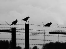 Three crows sitting on the barb wire Royalty Free Stock Photos