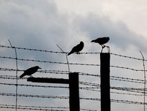 Three crows sitting on the barb wire Stock Photos