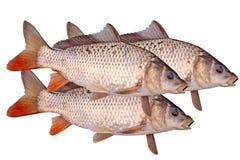 Three of crucian carp fish isolate. Three of crucian carp fish on a white royalty free stock photography