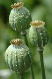 Three crying poppy heads royalty free stock image