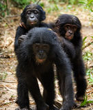 Three cubs of Bonobo Stock Photo