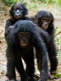 Three cubs of Chimpanzee bonobo. Royalty Free Stock Photo