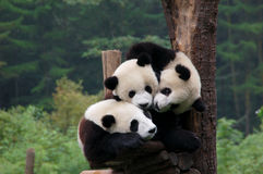 Three cuddly pandas Stock Image