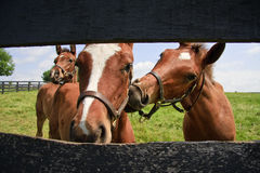 Three Curious Colts. Three curious and funny Colts on a Horse Farm stock photography