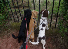 Three curious dogs on a lead. Stock Images