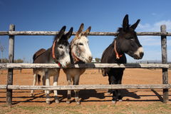 Three curious donkeys Stock Photo