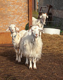 Three curious goats Royalty Free Stock Image