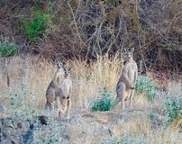 Three curious kangaroo boys on the look out stock photography