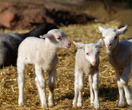 Three curious lamb staring Royalty Free Stock Images