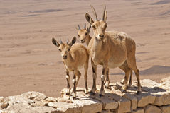 Three curious mountain goats in the desert Stock Image