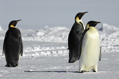 Three curious penguins Stock Photos