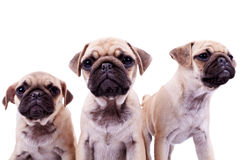 Three curious pug puppy dogs Royalty Free Stock Photos