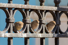 Three curious sparrow Stock Photography