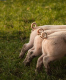Three curled Piglets Tails royalty free stock photos