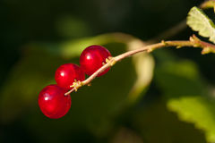 Three currants on a branche. Three currants on a branche on the green background. Macro royalty free stock photo