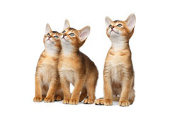 Three Cute Abyssinian Kitten Sitting on Isolated White Background. Three Cute Abyssinian Kitten Sitting and interesting Looking up, Stare in Camera on Isolated Stock Photo