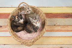 Three cute baby cat kittens in a wicker basket looking up. Seen from a high angle view on a multi pastel colored wooden background stock photography