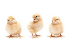 Three cute baby chickens chicks