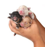 Three Cute Baby Puppies Being Held in Human Hands Royalty Free Stock Photos