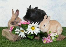 Three Baby Bunnies Stock Photography