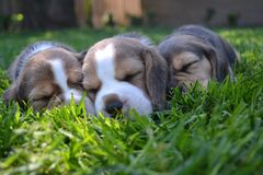 Three cute beagle puppies sleeping on the lawn.  Stock Images