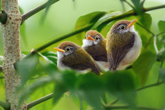 Three of cute birds Royalty Free Stock Image