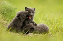 Three cute brown arctic fox cubs play fighting with each other. Three cute brown blue morph arctic fox cubs play fighting with each other in the meadow during Royalty Free Stock Photos