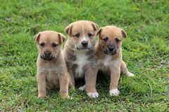 Three cute brown puppies sitting together. Three cute brown mixed-breed puppies with white markings siting together in the grass stock images
