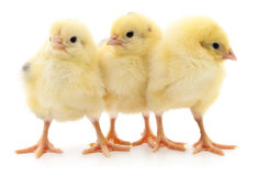 Three cute chicks. Stock Photos