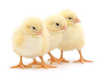 Three cute chicks on white Royalty Free Stock Photography