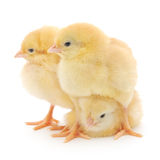 Three cute chicks on white Stock Photography