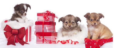 Three cute chihuahua puppies with christmas gift Royalty Free Stock Photography