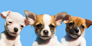 Three cute chihuahua puppies in a row Royalty Free Stock Images