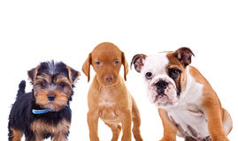 Three cute curious puppies are looking at the camera. Yorkshire terrier, viszla and english bulldog standing on white background Stock Images