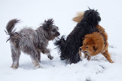 Three cute dogs in the snow. Three cute dogs play in the snow Royalty Free Stock Photography