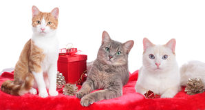 Three cute domestic cats Stock Image