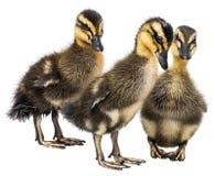 Three cute ducklings Stock Photo