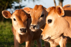 Three cute farm cow calves standing