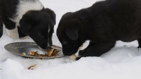 Three cute funny little black and white puppies eat on snow in winter. Hungry puppies eat fish heads. Three cute funny little black and white puppies eat on the stock video footage